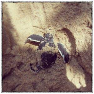 斯里.海龜保育中心(Bentota)